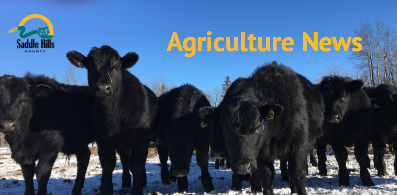 Image of cattle in winter