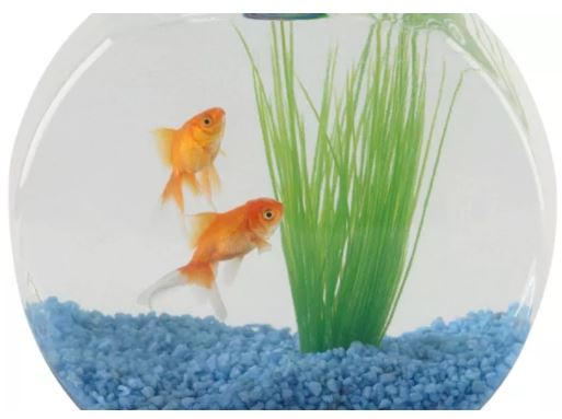 IMage of fish in a small fish bowl